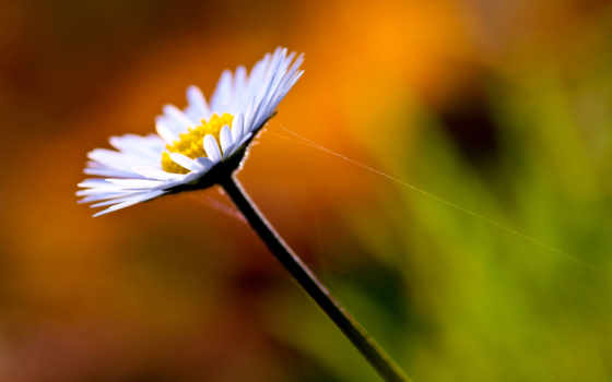 full, ромашка, цветы, макро,