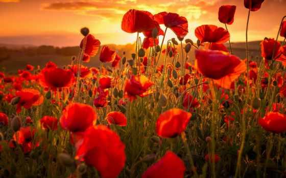 маки, красные, cvety, закат, sun, макро, высокого, заката, summer, разрешения,
