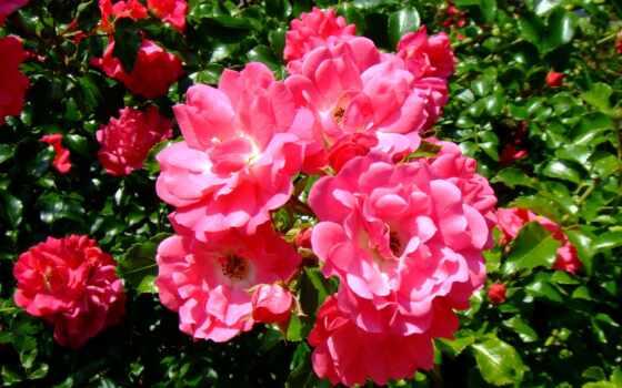 цветы, розы, резеда