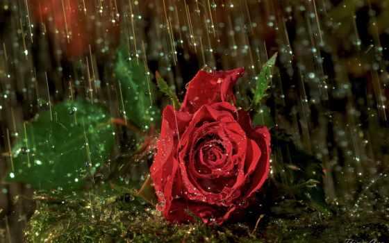 дождь, капли, роза