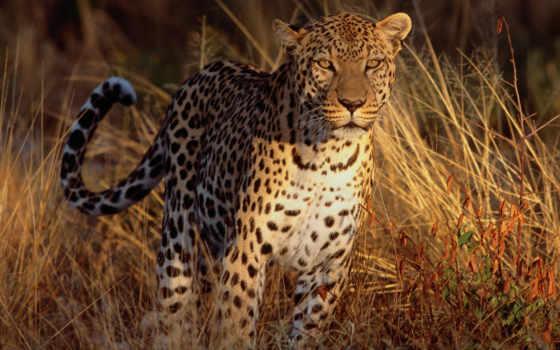 леопарт, трава