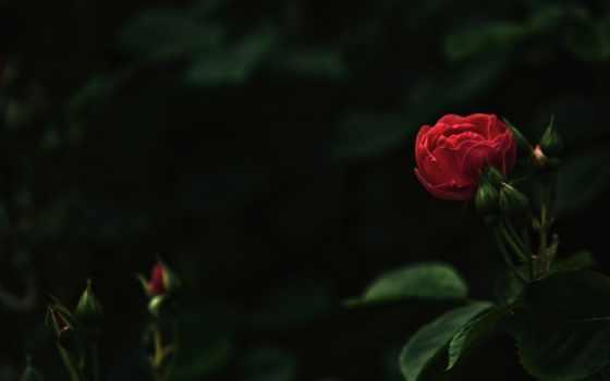 шишки, roses, you