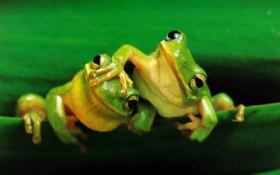 free, лягушки, cadetblue, зеленые, amfibii, природа, goldenrod, black, бесплатные,