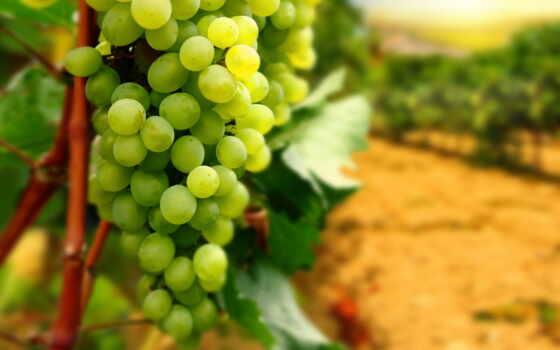 виноград, крыму, виноградники, виноградников, vineyard, винограда, крымский,