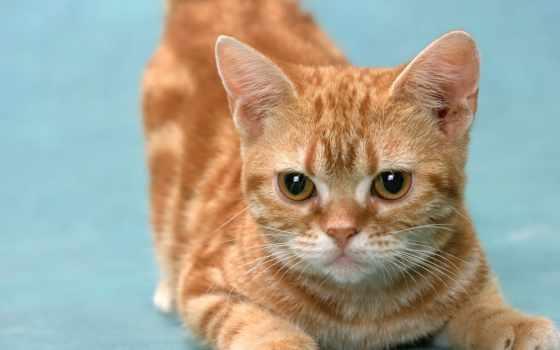 манчкин, лапами, короткими, яndex, кошек, кот, породы, коллекциях, кошки,