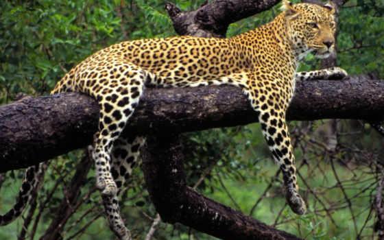 animal, леопард, zhivotnye, лежит, хищник, дерево, кот, природа, honor, jaguar, картинка,