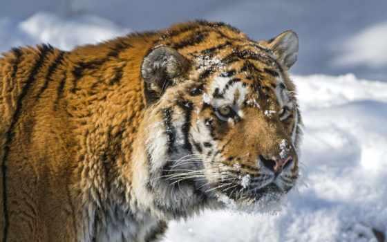 тигр, глаза, хищник, снег, amur, кот, winter,