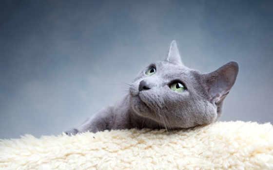 русская, голубая, серо, оттенки, кошек, браун, blue, кот, color, серый, iphone,
