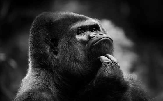 чёрно, белые, горилла