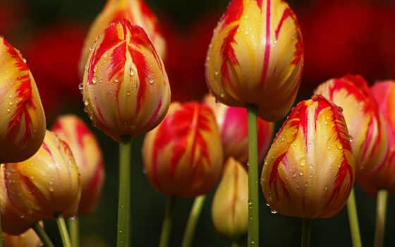 тюльпаны, cvety, priroda