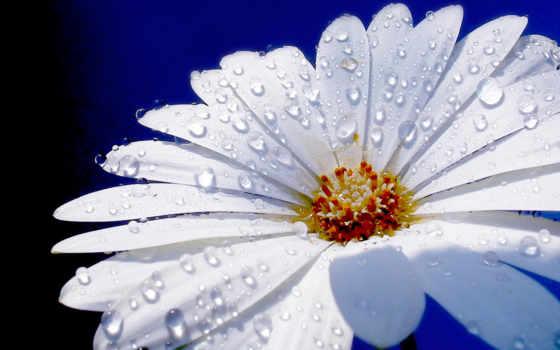 капельки, цветы, росы