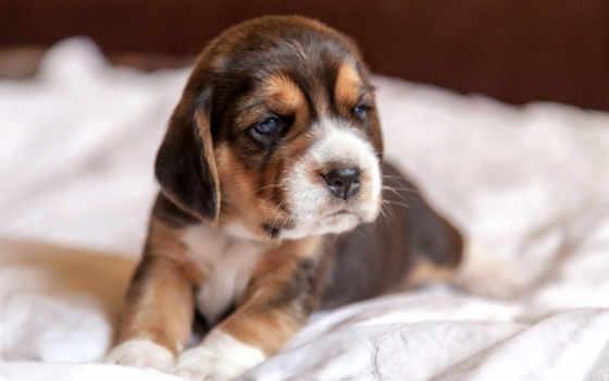 щенок, zhivotnye, джек, рассел, фоксхаунд, терьера, зооклуб, собак, зооклубе, лежит, фоксхаунда,