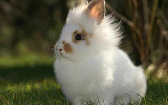 кролики, кролик, декоративные