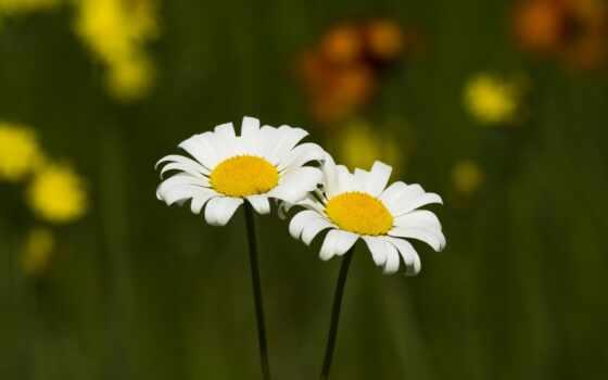 daisy, цветы, white, yellow, природа, растение, ваза, букет, ромашка, preview