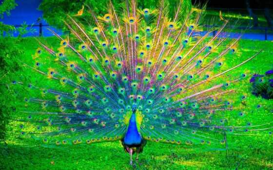 птица, peacock, павлина, natural, качество, mode, broadcast, yes, sound