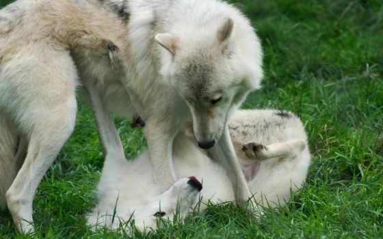 волки, para, просмотреть, игра, трава, двое,