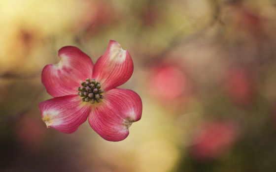 , красный, цветок, лепестки,