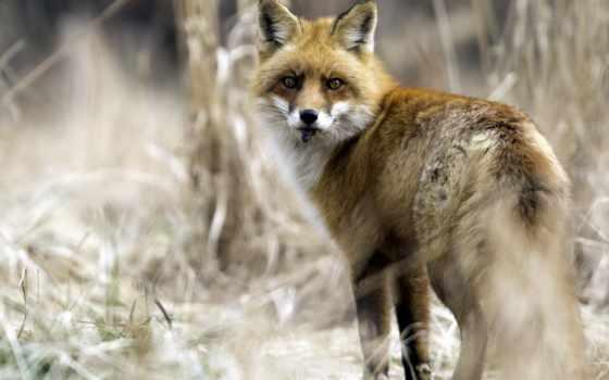 рыжие, красавицы, zhivotnye, природа, лисы, source, buzzfed, hdl, ак,
