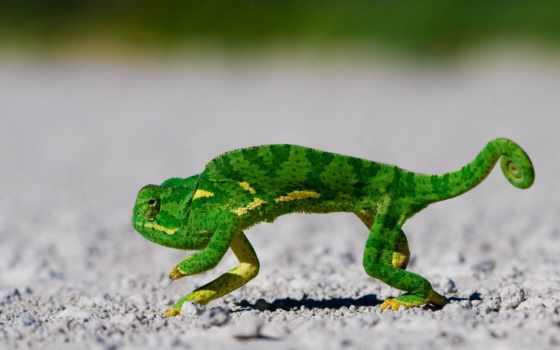 chameleon, зелёный, цветы,
