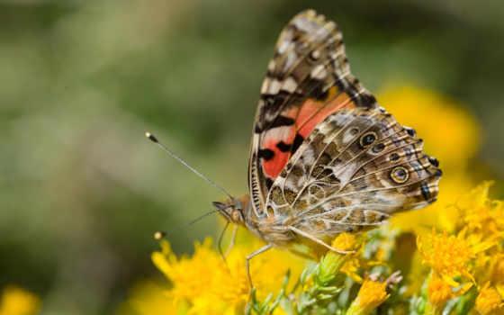 бабочка, макро, крылья,