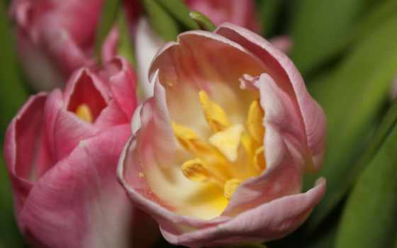 цветы, макро, тюльпан