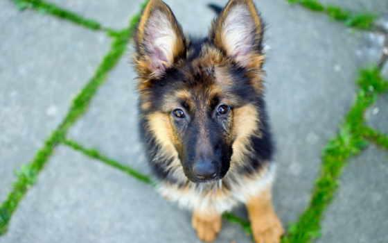 german, овчарка, собака, часы, стена, dogs, щенок, police,