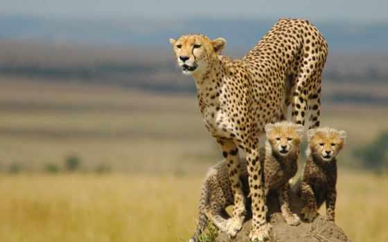 гепард, котята, семья