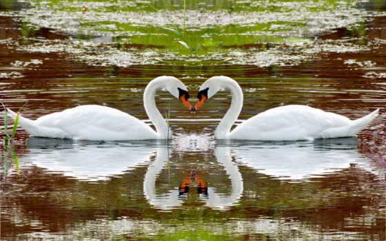 лебеди, water, пара, разделе, белые,