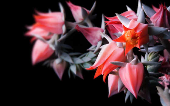 цветы, алые, необычные,