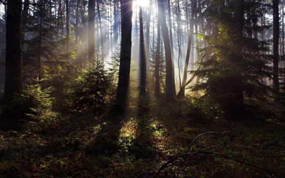 лес, сосны, rays, trees, sun, трава, свет, природа,