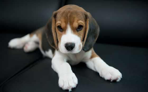 beagle, собака, друг, взгляд, собаки, фотографий,