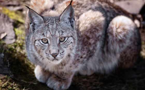 рысь, хищник, большая, кот, ложь,