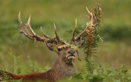 животных, лань, оленей, лесу, диких, лесных, рога, папоротник, олени, фоны, лоси,