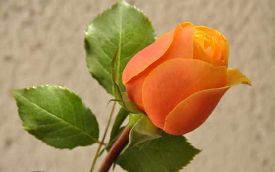 розы, роза, para, бутон,
