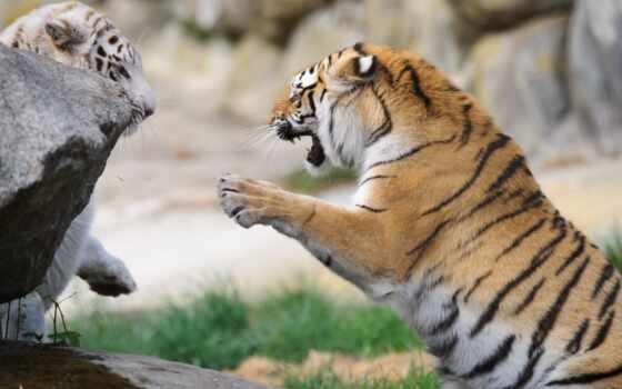 тигр, mobile, фон, бой, ложбинка, детёныш
