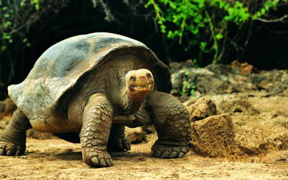 черепаха, большая, черепахи