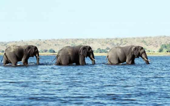 слоны, животные, слон, воде,