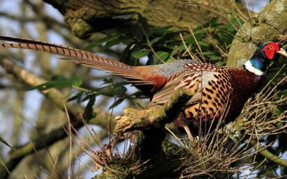 июня, фазаны