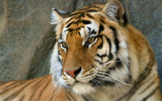 тигр, морда, тигра,