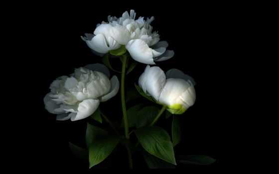 peonies, цветы, лепестки, shadow, свет, бутон, пион, white, розовый, картинка, надо,