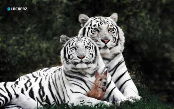 white, тигрица, тигр, белая, белым, baby, окрасом,