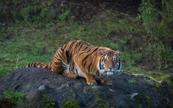 тигр, кошки, теме, goodfon, zhivotnye, der, tech,
