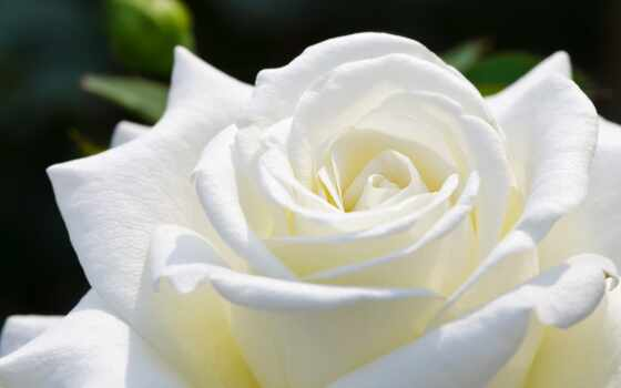 роза, бутон