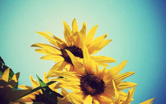 небо, подсолнух, цветы