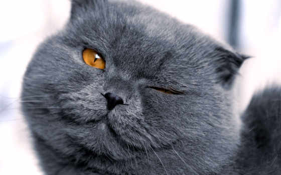 кот, телефон, серый, картинка, кошки, картинку, бесплатную, коты, фото, pets, mobile,
