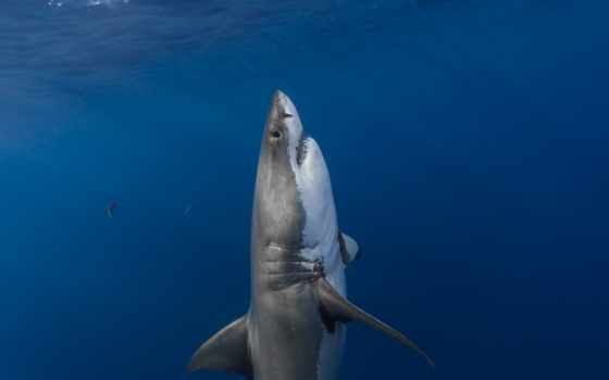 акула, белая, underwater, world, pisces, zhivotnye, коллекция, поднимается, поверхности,