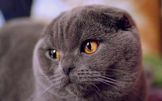 кот, смотреть, глаз, картинка, british, вислоухий, scottish, shorthair