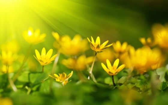 цветы, желтые