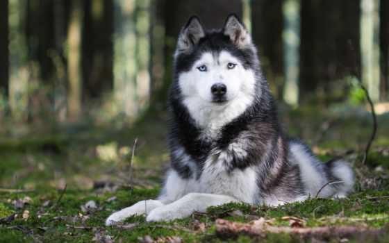 хаски, собака, щенок Фон № 73256 разрешение 2560x1600