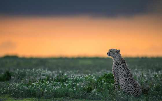 гепард, природа, дикая